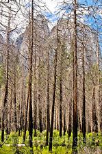 "Neil Reichline Photo, ""Tall Grove"" 16x20, Yosemite National Park, signed"