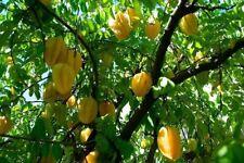 Best seeds 15 Seeds Starfruit Averrhoa Carambola fresh from grower in Thailand