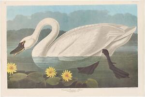 Audubon Amsterdam Ed Double Elephant Folio 1971 lithograph Pl 406 Trumpeter Swan