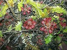 10 Capillaris Sundew drosera baby pink bog carnivorous bug cp plant live