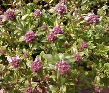 Kräuterpflanze, Gewürzpflanze, Oregano, winterhart aus Bioanbau bienenfreundlich