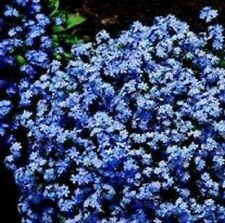 Myosotis - Victoria Blue - 250 Seeds