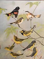 Vintage Bird Print Redstart Warbler Hooded Canada Wilson's 1929 Color