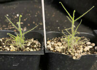 Australian Rainbow Plant Byblis guehoi.  Carnivorous plant, Nepenthes companion