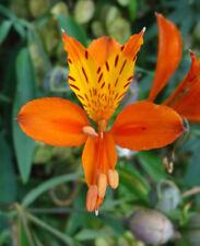 Alstroemeria aurea (orange form) Inca Lily - Hardy perennial - 50 seeds