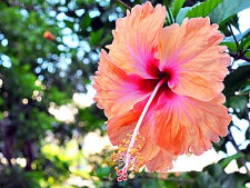 """Hibiscus rosa-sinensis """"Madeline Champion"""" x 1 young plant"""