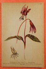 Hudszahn Lilie Erythronium dens-canis  Lilie  Lithographie 1897  Alpen Flora