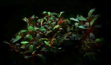 Bucephalandra 'Lamandau Purple' - Rare Aquatic Plant