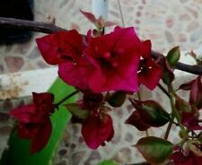 Bougainvillea Burgundy plant, rooty cutting