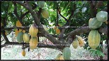 Whole COCOA POD 01 [Theobroma cacao] Forastero / Trinitario -viable seeds inside
