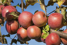 'Braeburn' Apple Tree 4-5ft, Self-Fertile,Ready to Fruit,Crisp & Aromatic