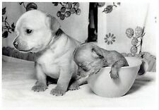 1972 Original Photo Portrait playing in coffee cup purebred chihuahua puppies