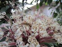 "12""  Clerodendrum Quadriloculare Shooting Star Flower Tree Tropical Plant Bonsai"