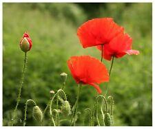 Wild Flower - Papaver rhoeas Flanders Red Common Corn Field Poppy - 15000+ Seed