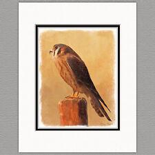 American Kestrel Wild Bird Original Art Print 8x10 Matted to 11x14