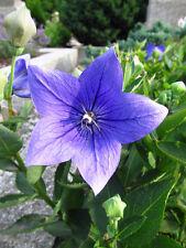 / Ein prachtvoller Stern, der in Ihrem Garten steht: die schöne Ballonblume !