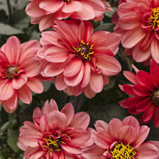 Flower Mignon Dahlia Bloody Mary EU Standard Quality Seed Pack Garden Beds Cut