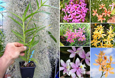 Epidendrum radicans hybrid, orchid, orchid,