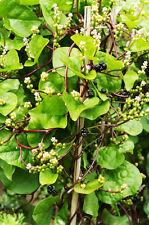 Vegetable Malabar Spinach Red Ceylon spinach 30 seeds Oriental