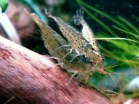 Amano Shrimps , Algae Eating Shrimp - Live Aquarium Shrimp