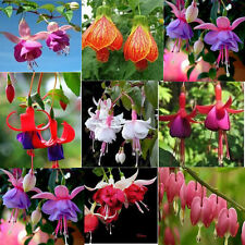 200 seeds of Fuchsia selection of colors flowers magellanica wildflower fuschia