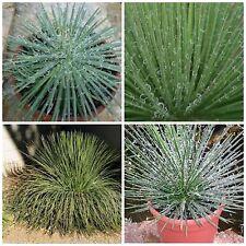 10 semi di agave geminiflora , succulente,seed succulents