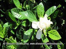 Gardenia jasminoides 'Frost Proof' gardenia,100 plants, FREE delivery