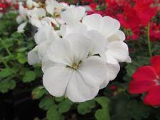 Flower Seed:  Maverick White Geranium Seeds  12 Seeds  Fresh Seed   FREE Ship