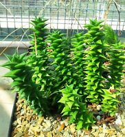 Astroloba Foliosa * Amazing Small Succulent * Very Rare * Limited * 5 Seeds *