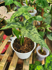 10 Plants Syngonium Mojito Mottled (REAL PICT)