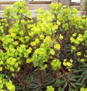 Euphorbia Polychroma 'Purpurea' Perennial LARGE Plug Plants Pack x6