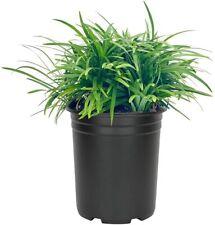 Dwarf Mondo Grass | Quart Size Plant | Ophiopogon Lilyturf Evergreen Shade Turf