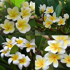 100 Pcs/bag Plumeria Plants Flowers ( Frangipani, Hawaiian Lei Flower ) Seeds