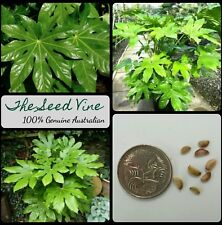 10+ JAPANESE ARALIA SEEDS (Fatsia japonica) Indoor Air Purifier Plant Home