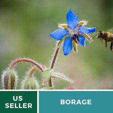 Borage (Borago Officinalis) Bee Friendly • Medicinal Herb •100 seed