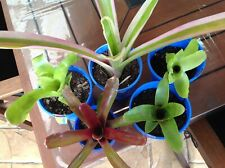 GREAT STARTER PACK. 5 Bromeliad Pups  For $15.00 pGREAT VARIETY In Colours/ Size