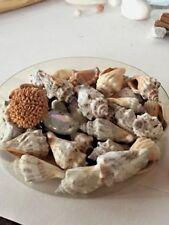 Shells - Wholesale Lot - Gray, Premium Select -  Medium Size