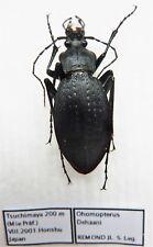 Carabus ohomopterus deehani (female) from JAPAN (Carabidae)