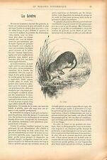 Loutres rivière Lutrinae Lontra canadensis  GRAVURE ANTIQUE OLD PRINT 1909