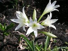 Crinum Lily, Bulbispermum Album 'White Rook', small-size bulb NEW