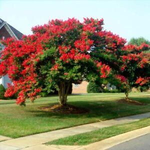 25 Red Dynamite Crepe Myrtle Tree Seeds