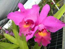 New listing C Penang 'Black Caesar' Am /Aos orchid plant (176)