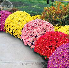 100pcs/bag Ground-cover chrysanthemum seeds, chrysanthemum perennial bonsai flow
