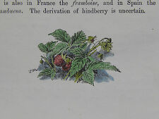 Botanical Miniature, Hand Color Familiar Wild Flowers c1895 Rasberry #22