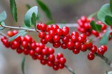 Yaupon Holly Ilex vomitoria Organic 10 Seeds (Free Us Shipping)
