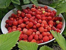 Italienische Monatserdbeere - Fragaria vesca - 50 Samen