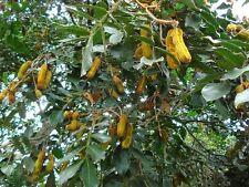 Ice Cream Bean tree 10cm tall plant fruit tree ( Inga Edulis
