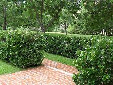 Viburnum Suspensum Qty 20 Live Plants Privacy Hedge