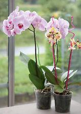 Orchid Flower Support / Stick / Stem / Rod / Holder - 55 cm, Pack of 3, UK STOCK