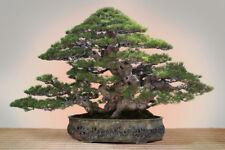 BEACH SHE OAK (CASUARINA EQUISETIFOLIA)  - 50 Seeds Bonsai or Feature